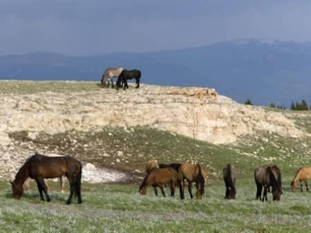 В Австралия ще избият 10 000 диви коне