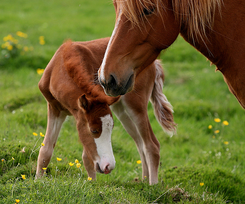 Кога една кобила е готова да стане майка?