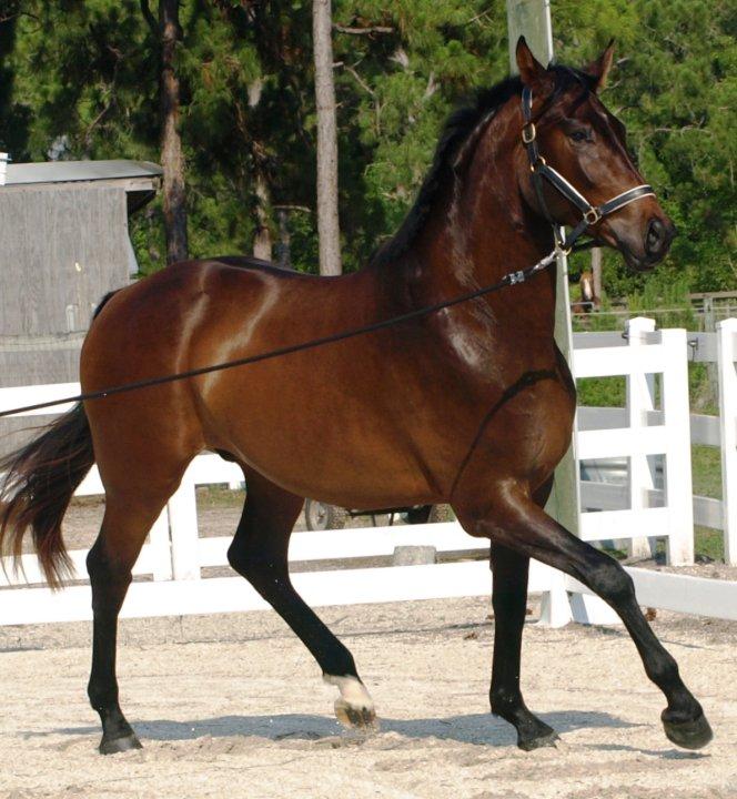 Тренинг на тригодишните и по-възрастните коне