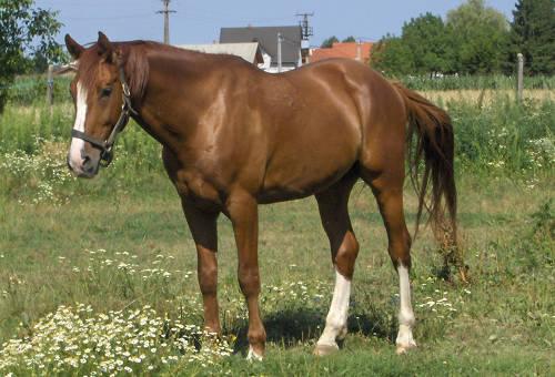 gidran Gidran horse  extraordinarily rare breed
