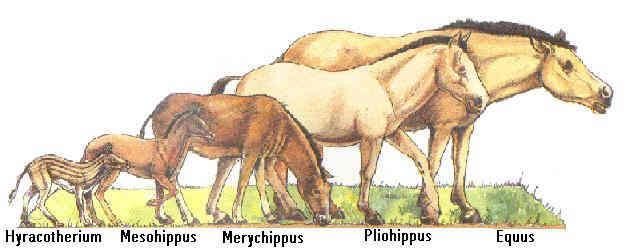 Еволюция на коня